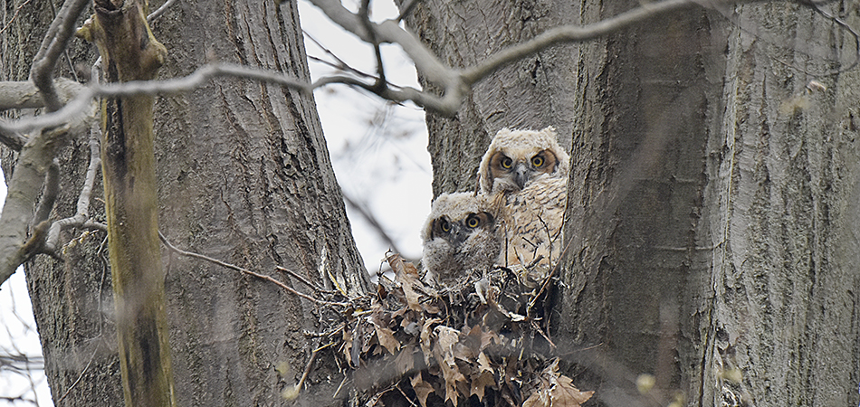 """Great Horned Owlets - Point Pelee"""