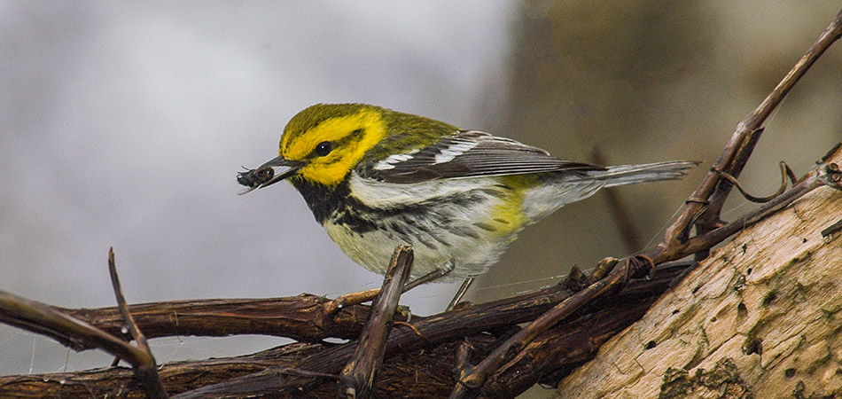 """Black-throated Green Warbler"""